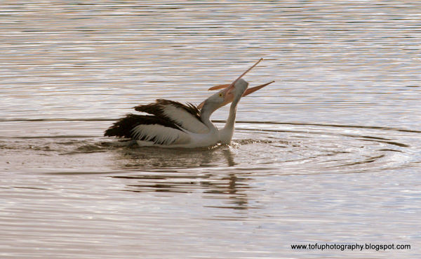 Pelicans sparring on a lake at Eden, Australia
