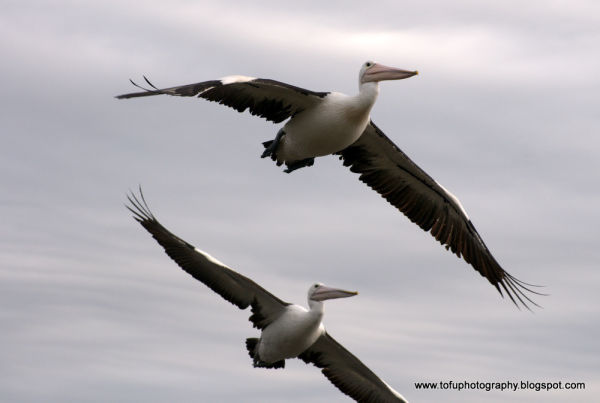 Two pelicans in flight