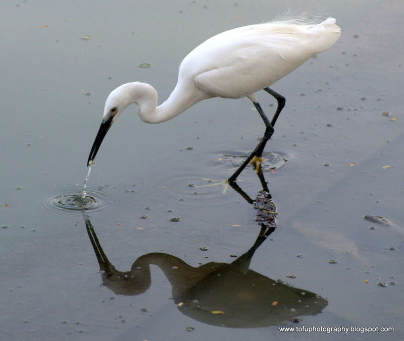 Little egret catching a snail