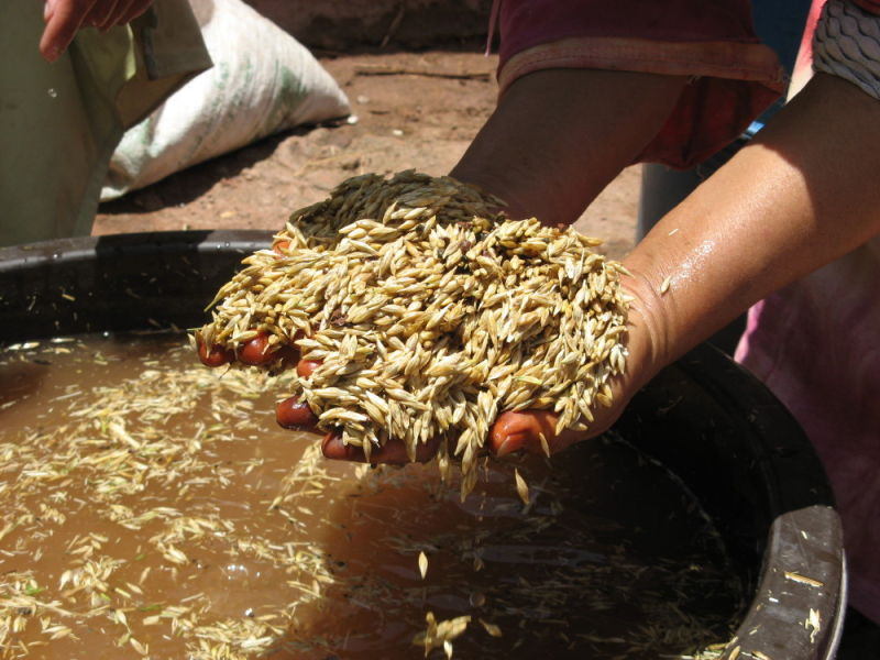 washing the Barley