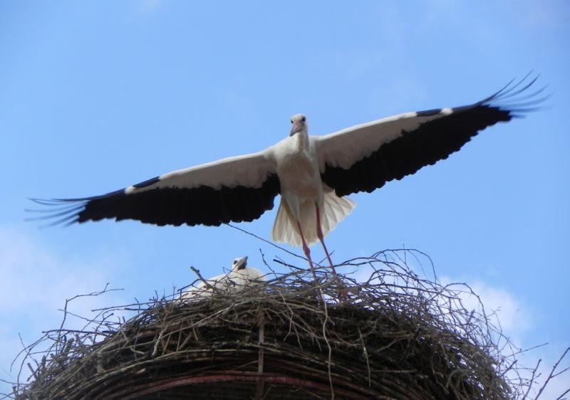 cigogne /Stork