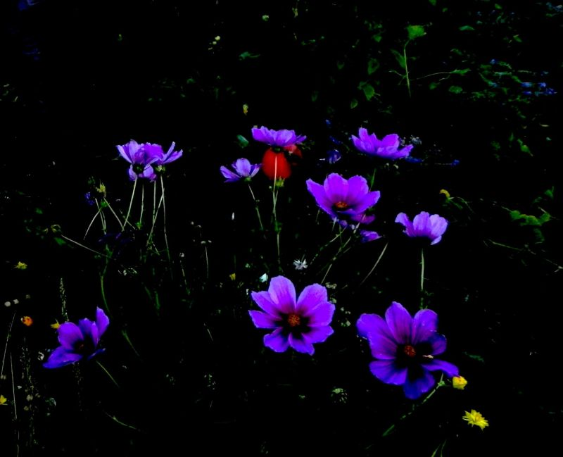 flowers in the night ...
