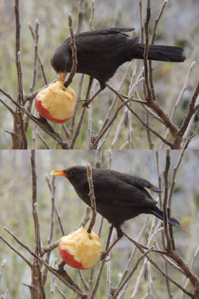 Le merle et la pomme : Blackbird and apple