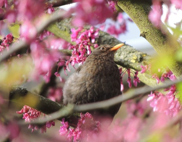 bird merle oiseau