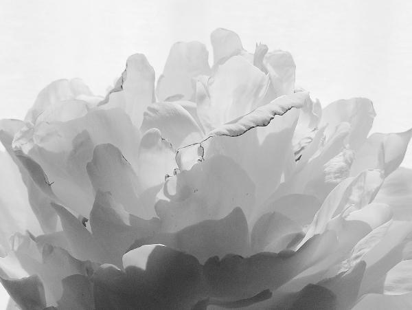 flower peony white