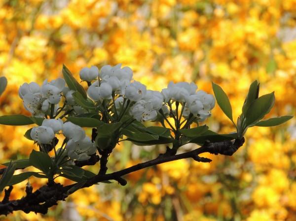 flowers , cherry, fleur cerisier, couleur