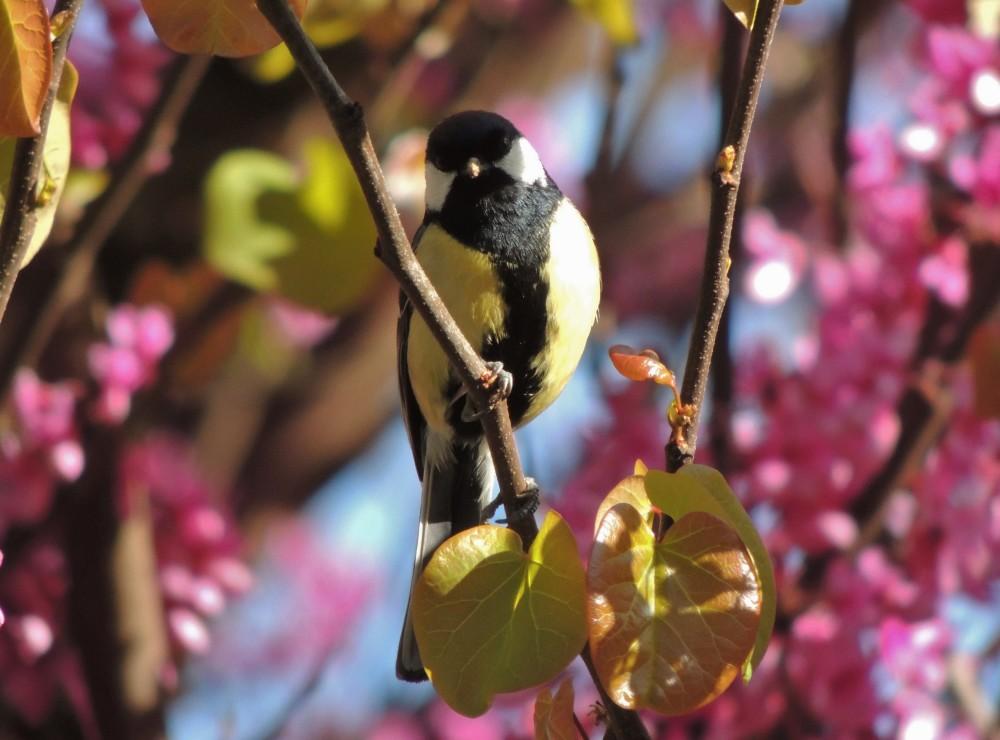 mésange charbonnière, oiseau, bird, parus lajor