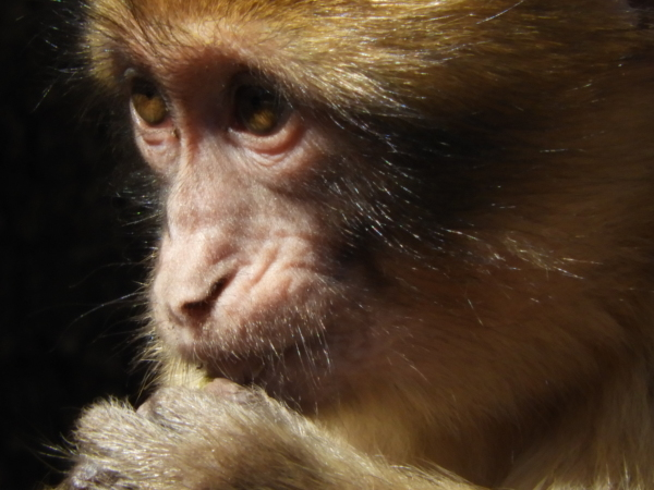 Maroc singe monkey