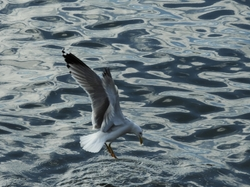 Gull, Portugal