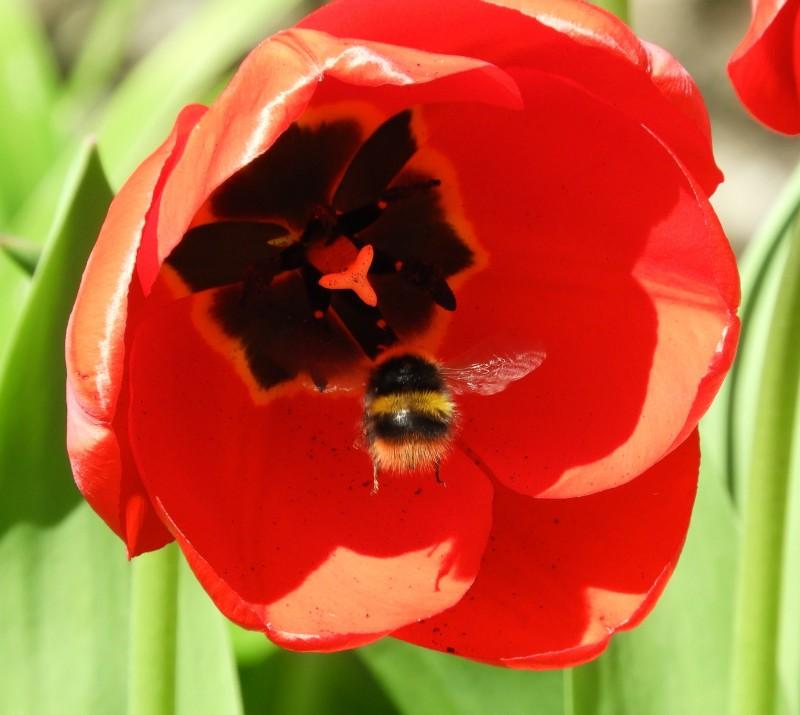 bee tulip garden