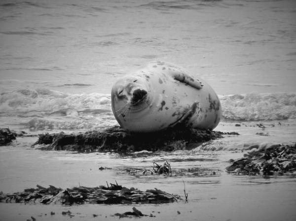 seal scotland