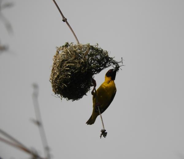 Reunion Island, Tisserin, bird