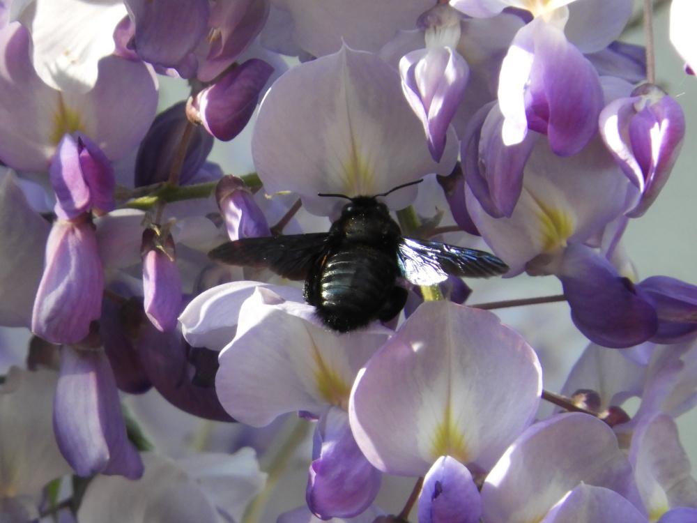 Abeille,bee.wysteria