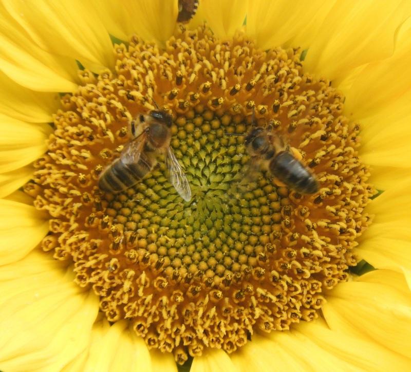 Sunflower , bees