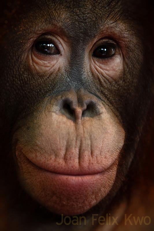 recognize closer to the Orang Utan