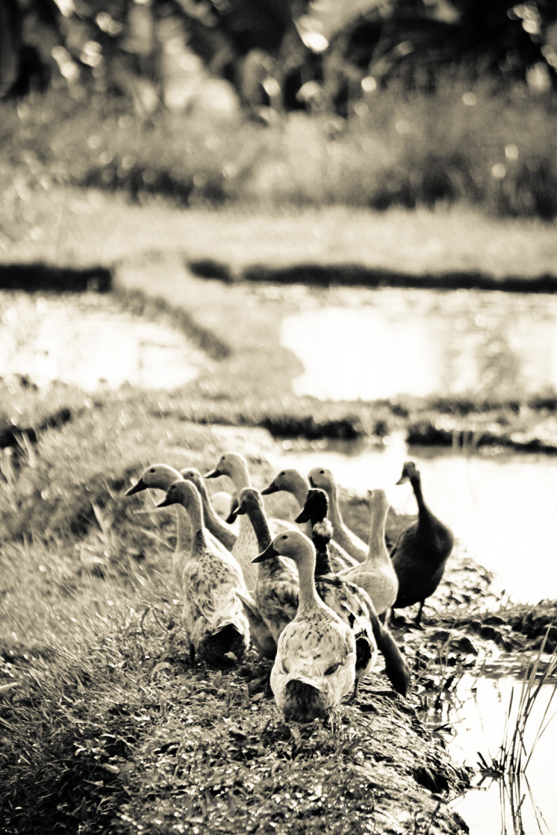 Duck are lined up for going home