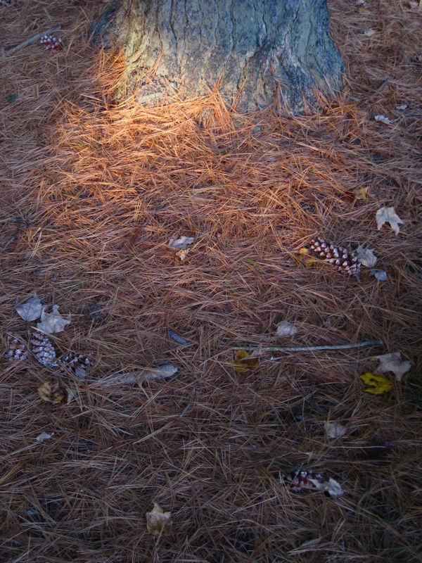 Magic in the Pine Wood