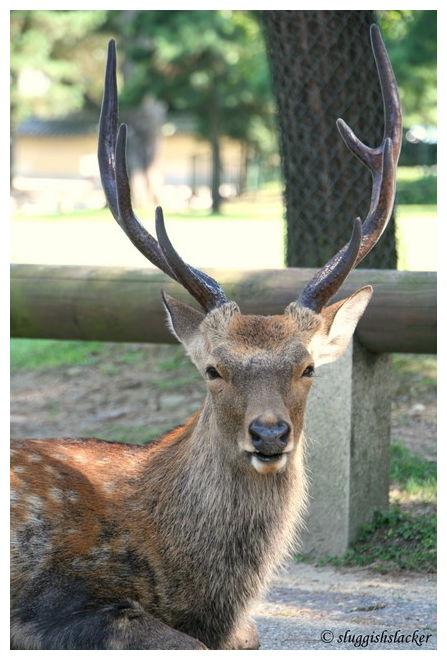 Shika - 鹿