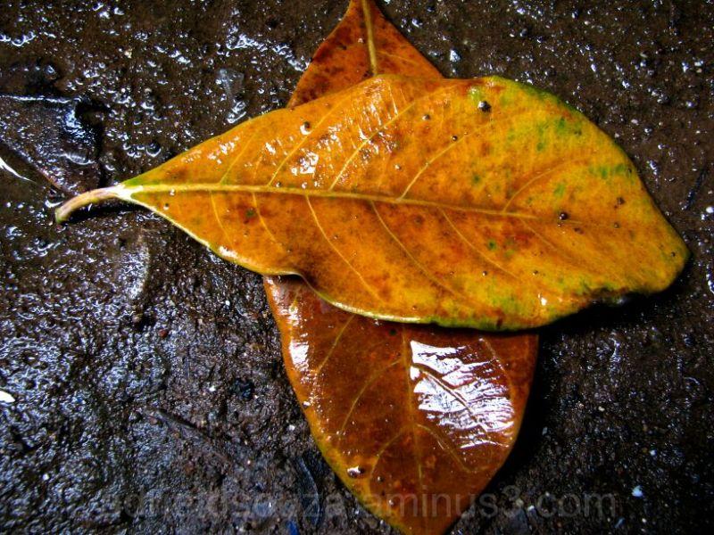 Fallen Leaevs on a Rainy Day