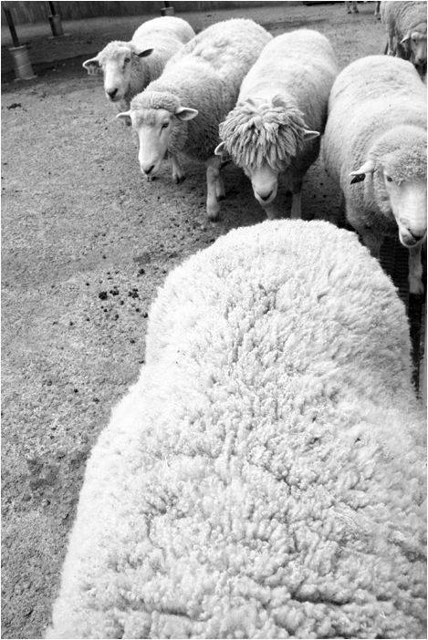 lunchtime for sheep