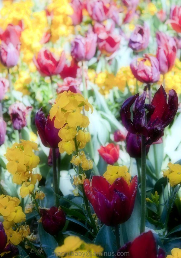 Tulip Blur