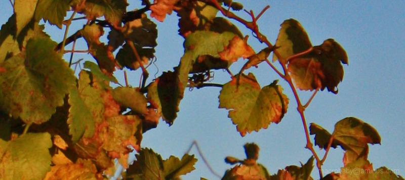 Vines at Sunrise