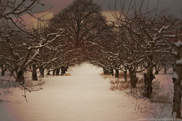 Cherry Trees in Wait