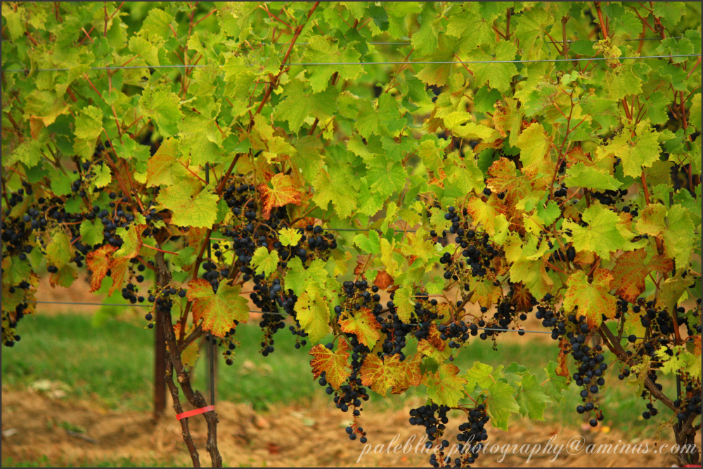 Loaded Vines