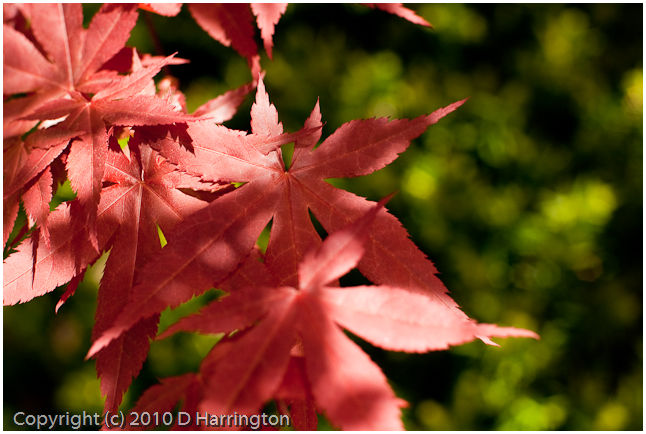 Japanese Maple Up Front