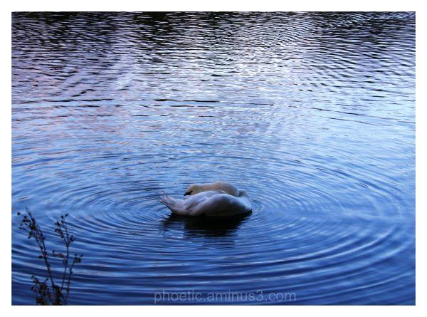 Whirling [Dervish] Swan