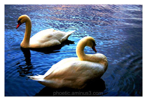 It's all about the Swans!