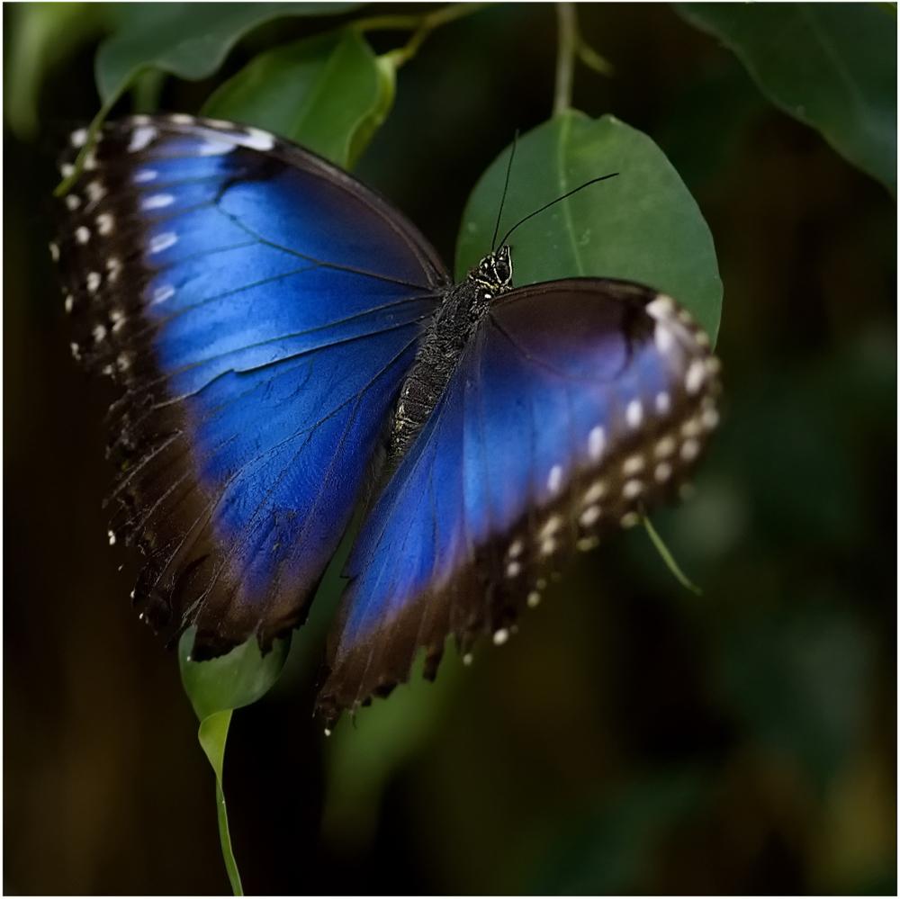 Der Blaue