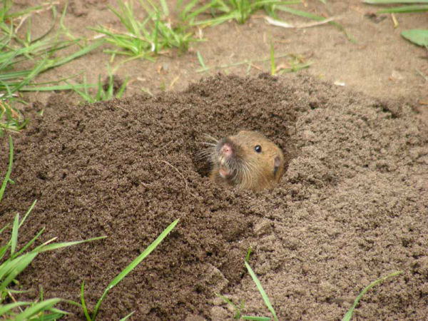 Young Gopher