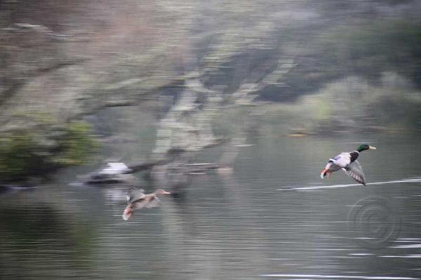 Two Ducks Flying