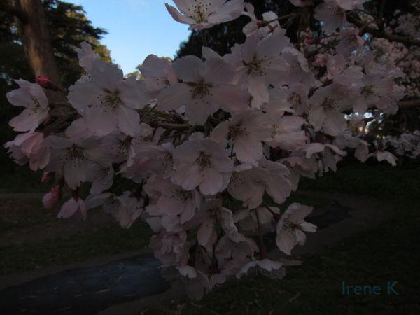Cherry Blossom Tree (Same one)