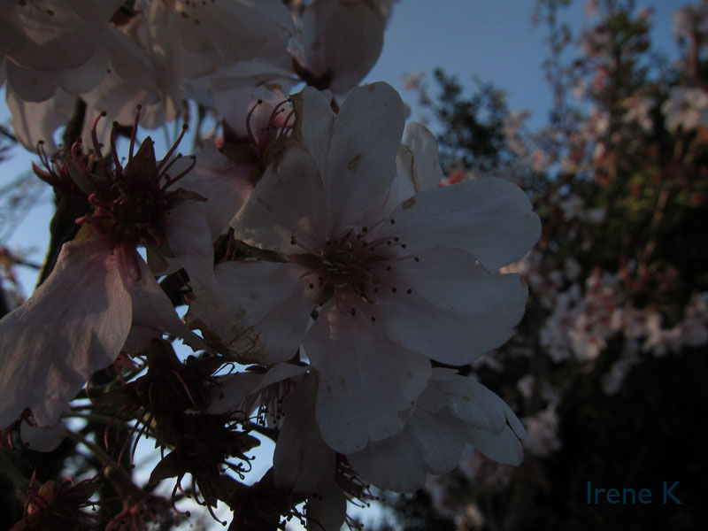 Cherry Blossom At Stow Lake