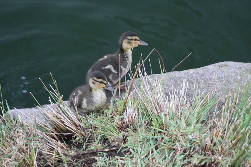 Two Ducklings