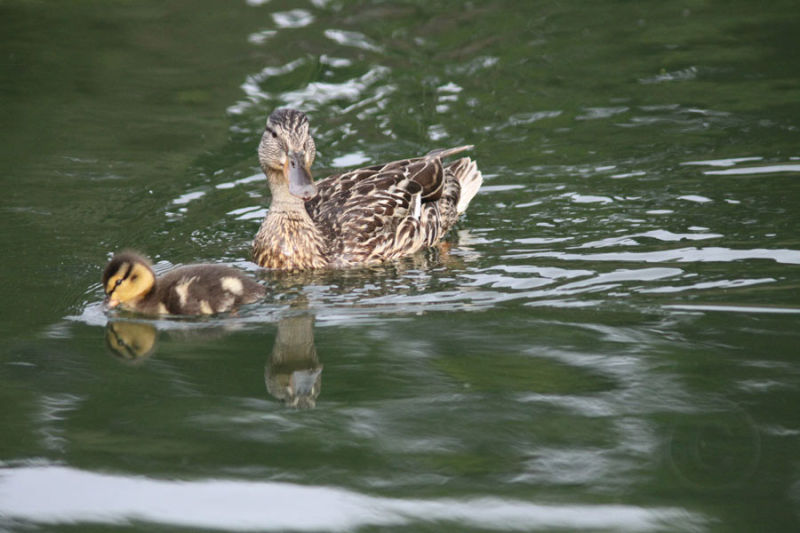 Duck With Duckling