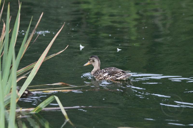 Ducking Headed to Hide