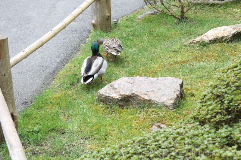 Strolling Ducks