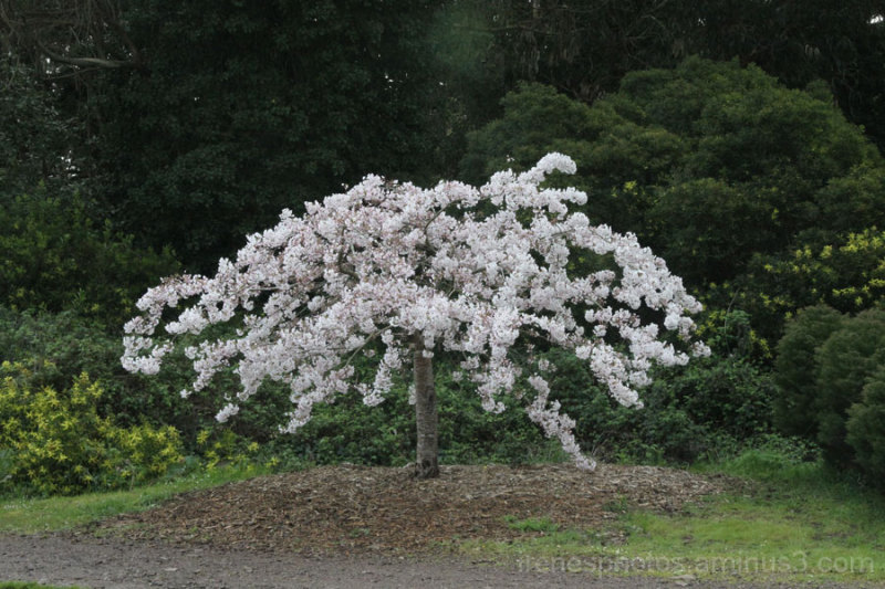 Finally  Cherry Blossom Tree