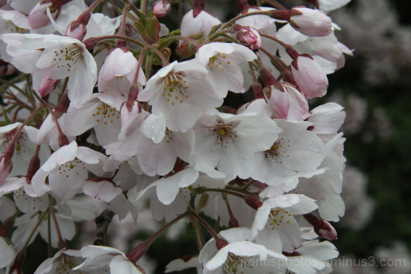 Cherry Blossoms #1 of 2