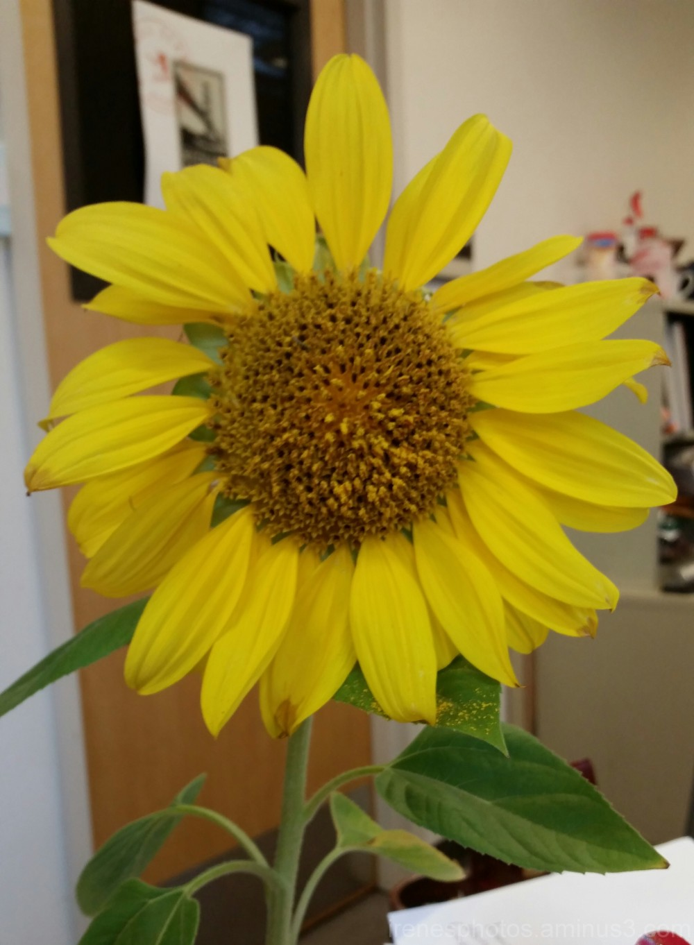 Home Grown Sunflower