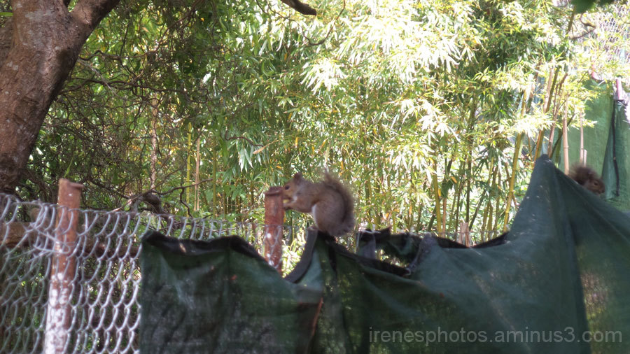 Two Squirrels on Fence