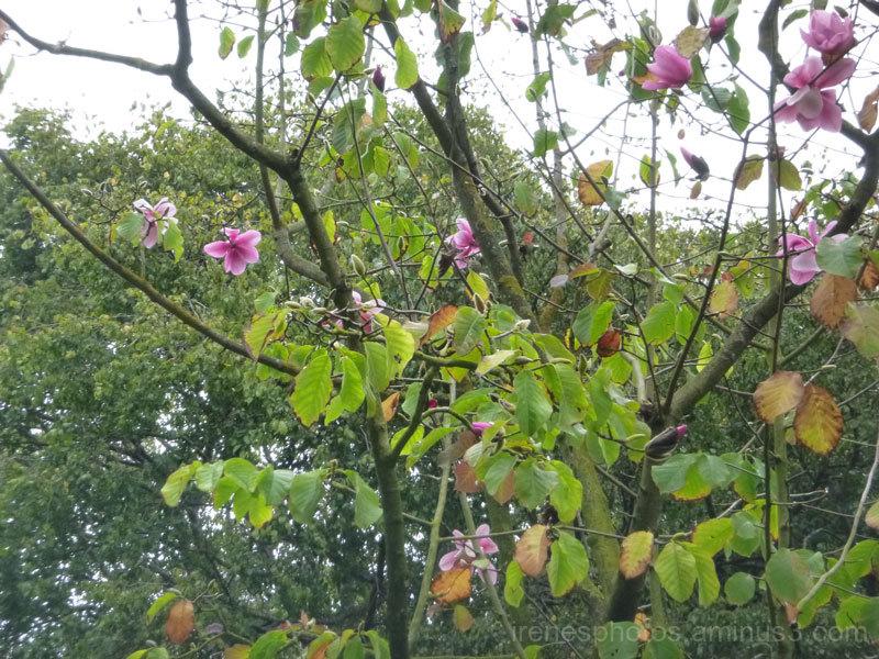 Magnolias Blooming #2