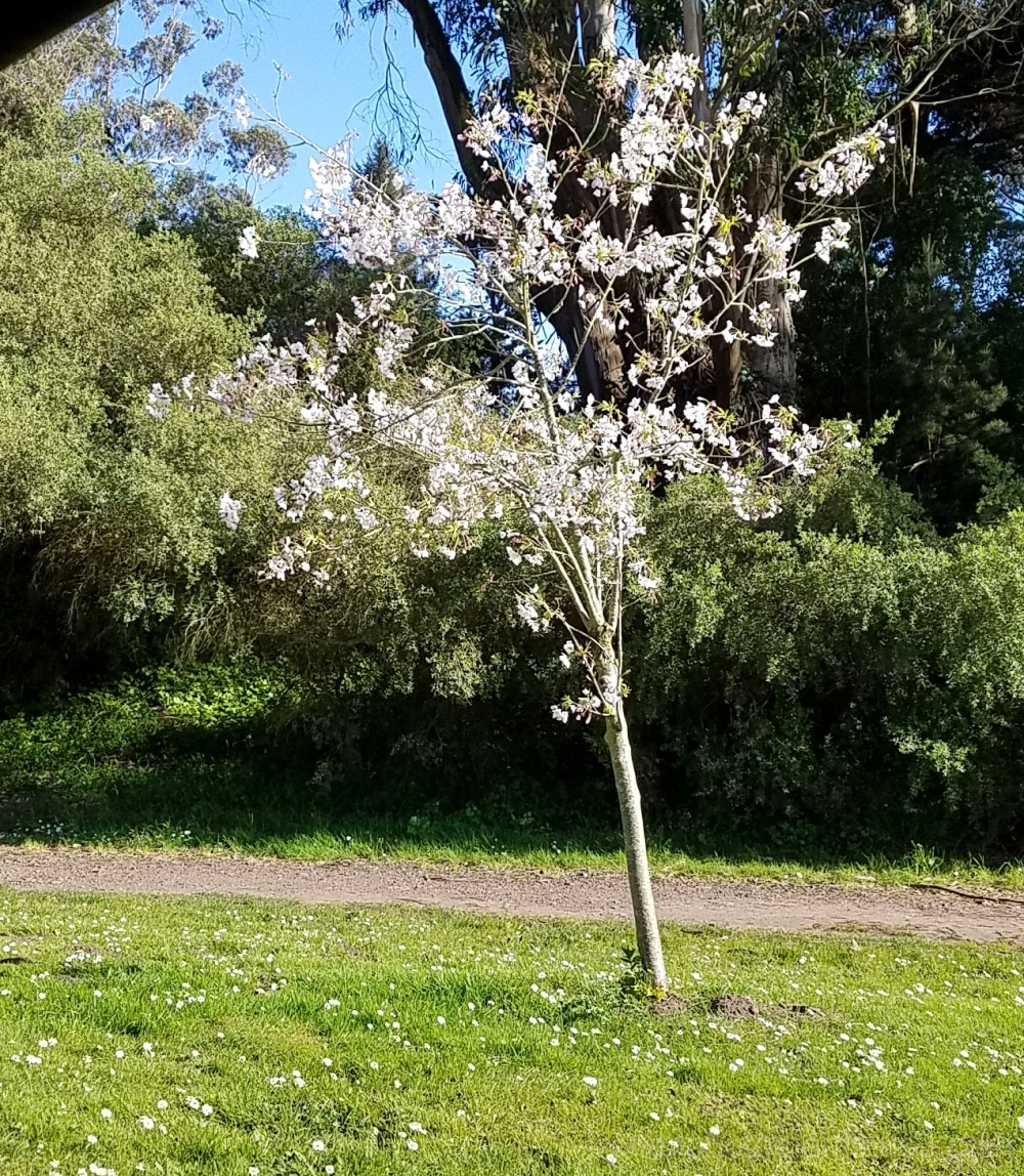 Cherry Blossoms @ Golden Gate Park