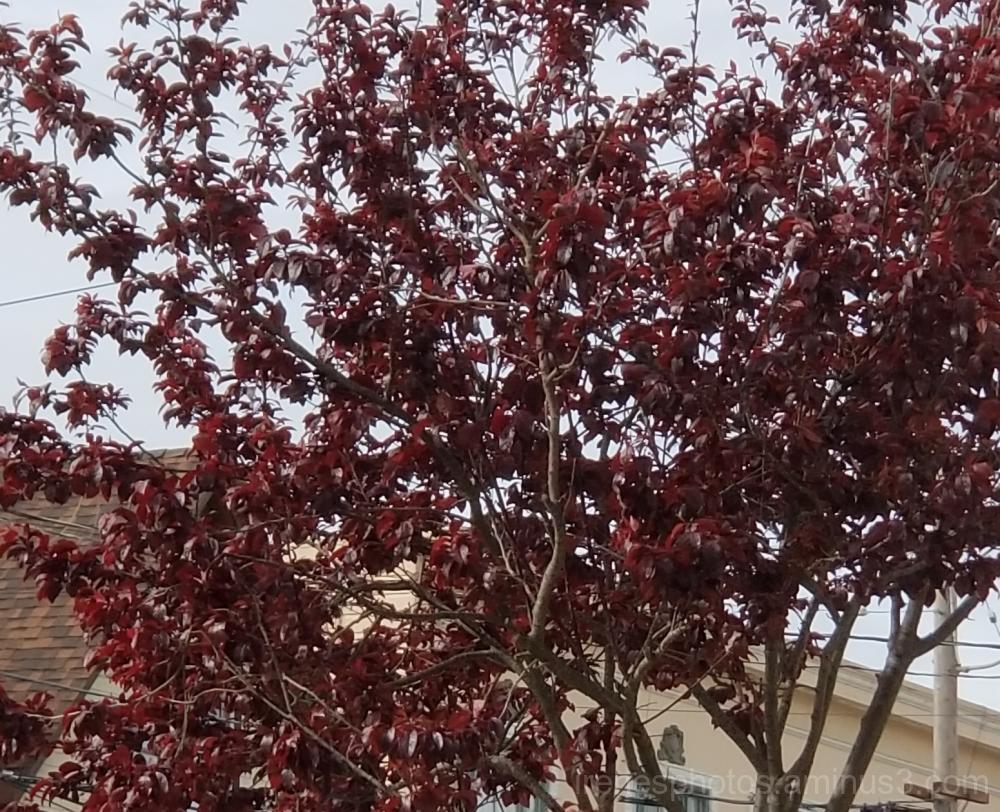 Leaves on Plum Tree