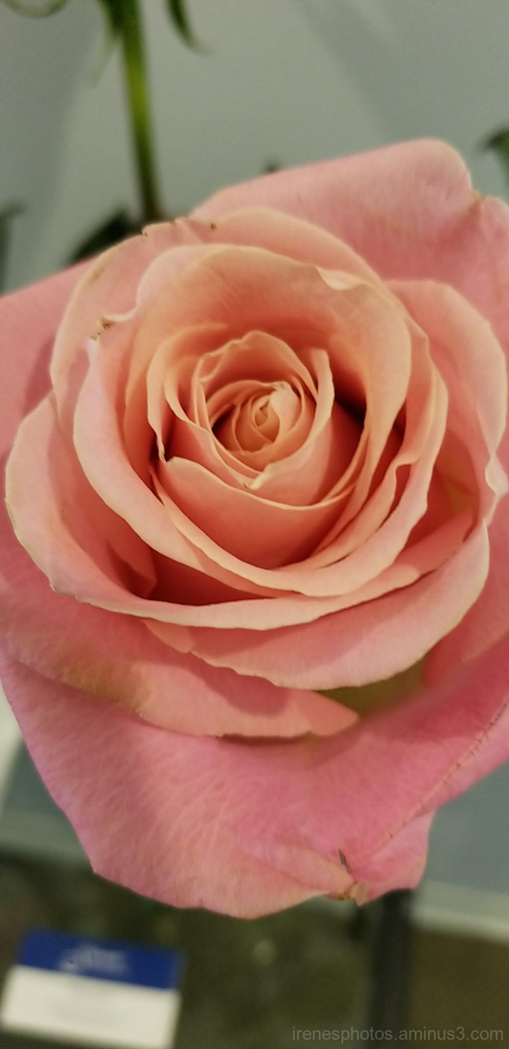 Rose on 05.01.2018