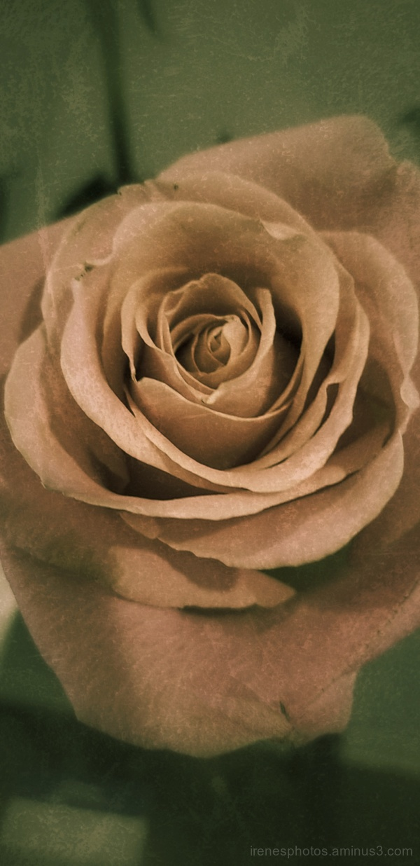 Rose with Filter