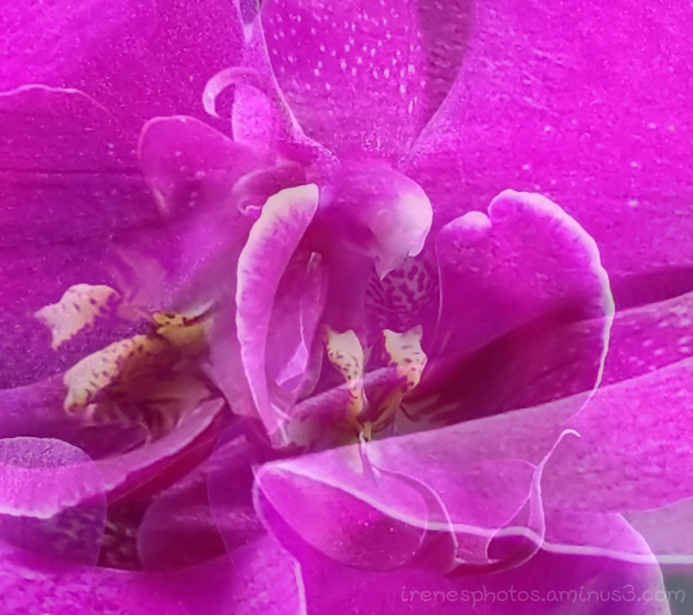 Double Exposure Orchid